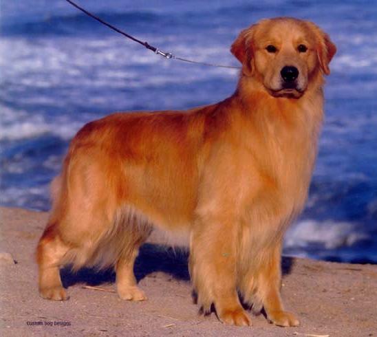 Goldminer Goldens Arizona – Golden Retriever Puppies Arizona